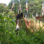 maitri-horse
